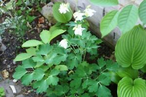 1000-Seeds-of-Aquilegia-Columbine-pink-and-white-mix-from-Canada