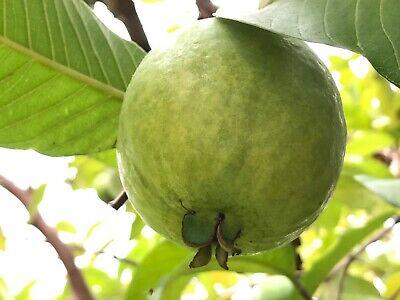 "1 Sweet Ruby Supreme Guava Psidium Guajava Fruit Tree 35/"" Tall app"