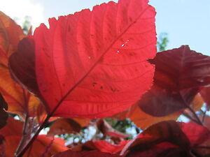Variegated Acalypha Wilkesiana Copperleaf Copper Tropical Flower