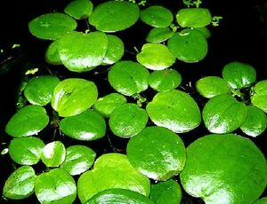 Limnobium-laevigatum-grand-modele-x-2-Grenouillette-plante-flottante