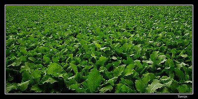 Bulk Seven top turnip seed, great deer food plot, wildlife seed, 2 lbs
