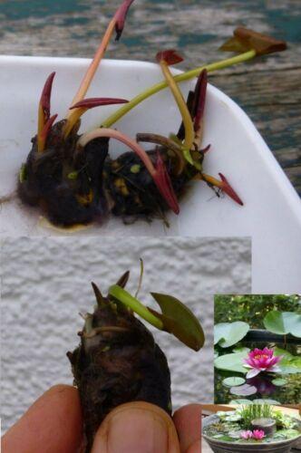 Rote Bonsai Seerose Pflanze für den Zimmerbrunnen ein Aquarium Glas eine Schale