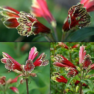 10 Samen Papageien-Inkalilie - Alstroemeria psittacina - Lilie - seed
