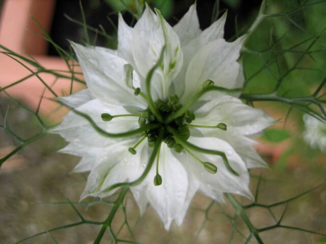 500 WHITE LOVE IN A MIST Nigella Damascena Flower Seeds + Gift & Comb S/H