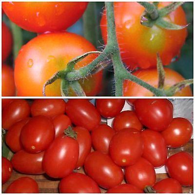 Wessel's Purple Pride Tomate Tomato 5+ Samen Saatgut Gemüsesamen Seeds