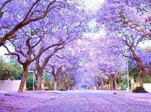 Royal Empress Tree Paulownia Elongata flowering tree wood bonsai