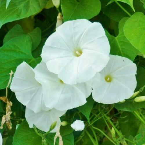 Graines Morning Glory Pearly Gates Semillas 5+ seeds Ipomoea tricolor