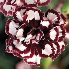 30+ Fragrant Carnation Red and White Raspberry Ripple Perennial Flower Seeds