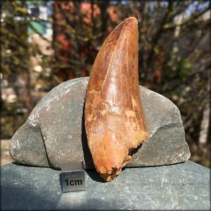 T-Rex-Type-Tooth-Fossil-Carcharodontosaurus-FSR042-100-Genuine