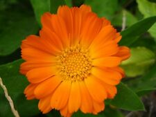 100 ENGLISH MARIGOLD Orange Pot Calendula Flower Seeds