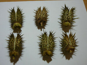 100 Samen Datura stramonium Hexenpflanze Gemeiner Stechapfel