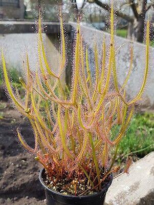 Drosera binata dichotoma typ giant , Sonnentau, Fleischfressende Pflanze