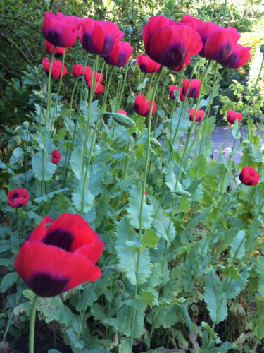 1g Papaver Poppy Seeds UK summer flower 1 gram 2000