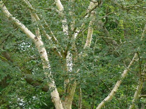 Himalyan White Birch Betula 10 Silver Birch Jacquemontii 5-6ft Stunning Trees