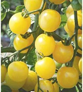 20 Yellow Pear Cherry Tomato Seeds /'European Cherry Historical Heirloom Tomatoes