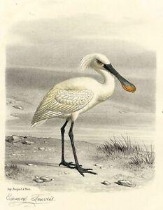 Histoire-Naturelle-La-spatule-Oiseau-Lithographie-originale-Edouard-Travies