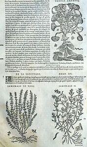 100% De Qualité Fleur Saxifrage Periclymenum Botanique Matthioli Mattioli Matthiole Dioscoride