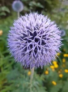 Blue-Globe-Thistle-Echinops-Ritro-Perennial-25-seeds