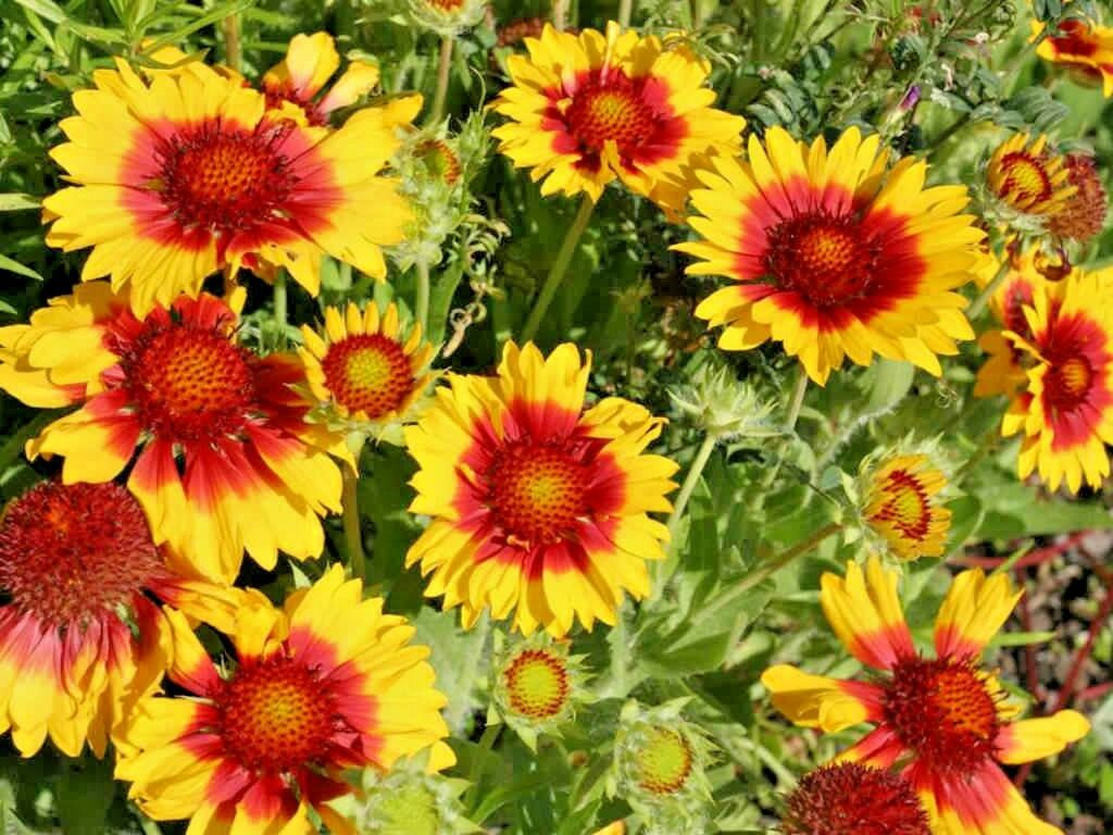 200 Blanket Flower American Native Wildflower Seeds Perennial