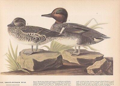 "1942 Vintage AUDUBON BIRDS #228 /""GREEN WINGED TEAL/"" Color Art Plate Lithograph"