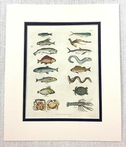 1827 Antique Fish Print Perch Crab Lobster Shark Salmon Hand Coloured Engraving