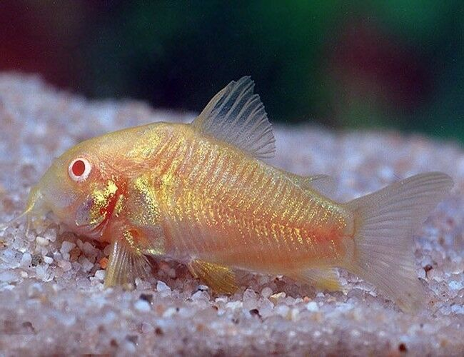 10 (ten) x Corydoras aeneus 'Neon Albino' (Catfish)