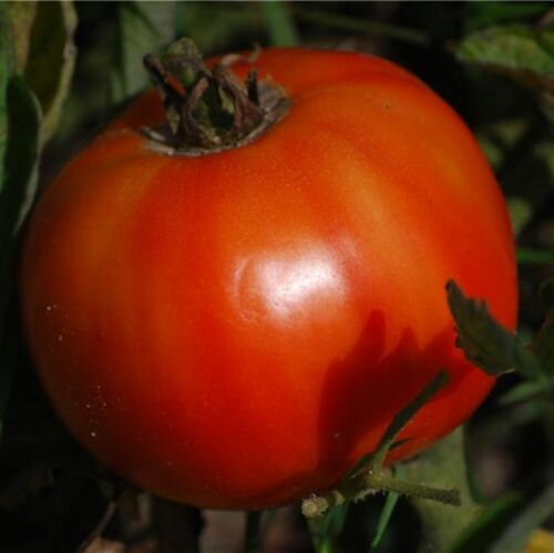 WORLD RECORDER! seeds Delicious Tomato 10