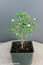 "Chinese flowering  white serissa  bonsai tree 4"" pot /single petal, variegated l"