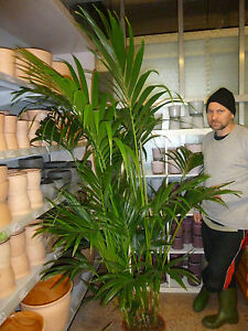 f r drinnen howea forsteriana kentia palme b ropflanze kentiapalme zimmerpalme ebay. Black Bedroom Furniture Sets. Home Design Ideas