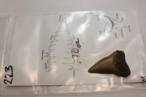 "2.23"" Megalodon Era Shark Fossil - Mako"