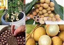Dwarf Longan Sri Chompoo Aka Dragon Eye Exotic Fruit Seeds, 10 Seeds
