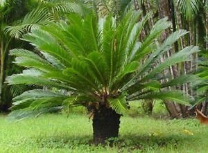 Details About 1 Bulb Sago Palm Rare Cycas Revoluta Live Plant Bonsai Beautiful Thai