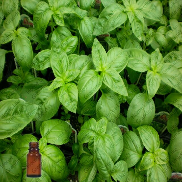 Basil Essential Oil - 100% Pure and Natural - Free Shipping - US Seller!