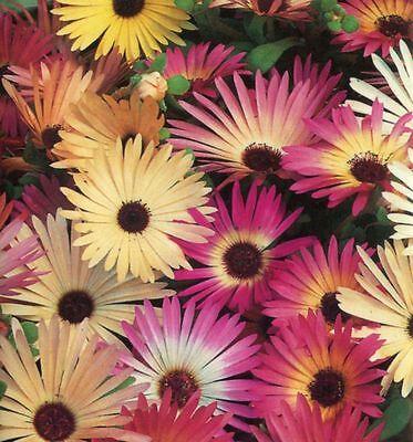 FLOWER MESEMBRYANTHEMUM PASTEL MIXED 30,000 SEEDS BULK