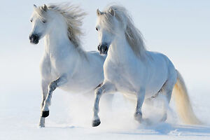 Impresion-en-Marco-Blanco-Sementales-Running-en-la-Nieve-Caballo-Picture