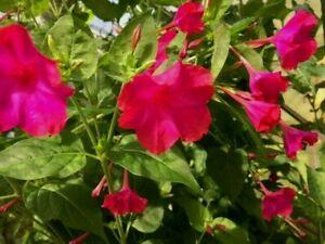 30 graines de FLEURS BELLE DE NUIT rose fushia CULTURE FACILE