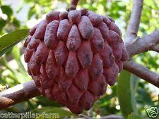 Rare Thai Lessard Custard Apple- RED Sugar Apple-Annona squamosa, 10 Seeds