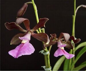 Encyclia-Cordigera-X-Sib-Near-Blooming-Size-Orchid-See-Extra-In-Desc