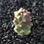 Monadenium-ritchiei-ssp-nyambense-paniculatus-Succulent-plants-potted-Plants thumbnail 2