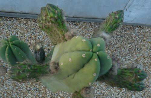 Cactus Samen Echinopsis Pachanoi X Superped. Tricho Cereus 5-1000 SEEDS