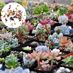 Mixed-Rare-Succulents-Seeds-Easy-To-Grow-Potted-Flowers-Seeds-Bonsai-Seed