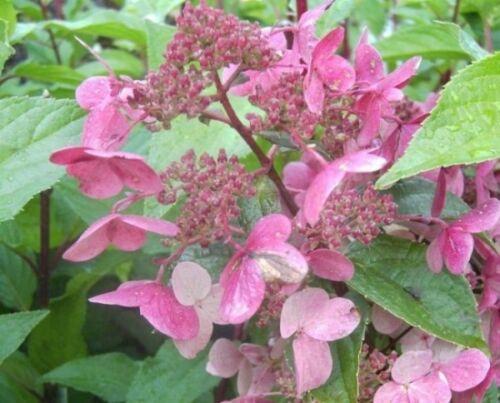 Rispenhortensien Wim`s Red® Hydrangea paniculata Wim´s Red® duftend