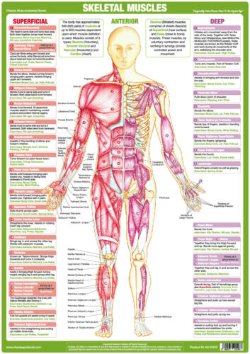 Muscle Skeletal Anatomy Chart Bodybuilding Educational Medical Poster Posterior