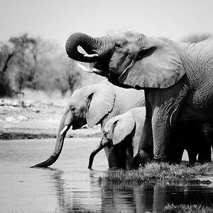 nina papiorek namibia elephants keilrahmen bild leinwand elefant schwarz weiss ebay. Black Bedroom Furniture Sets. Home Design Ideas