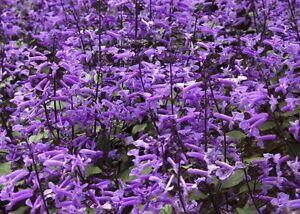 > ysop bleu ensorcelé votre jardin avec ses fleurs de splendeur!  </span>