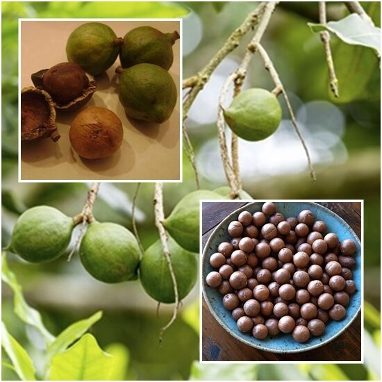 Macadamia 20 Seeds Grow Nuts Heirloom Seeds Rare Tropical Plant Tree From Thai