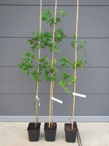 60-80cm Rubus fruticosus /'Thornless Evergreen/' Immergrüne dornlose Brombeere