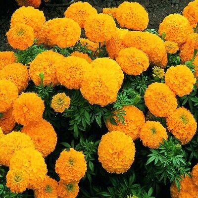 Marigold African Marvel Orange 20 Seeds