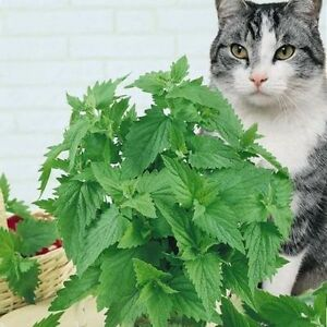 400-Catnip-Seeds-Catmint-Nepeta-Cataria-Organic