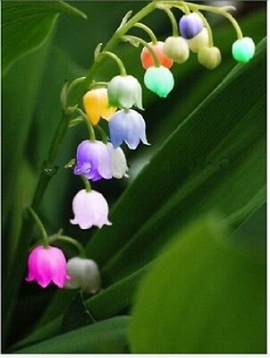 15 X Windbell Orchid seeds Gardening Flowers ORCHID Blooming Flower Plant Seeds